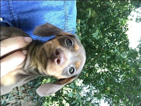 Dachshund puppy for sale in TULSA, OK. ADN-45786 on PuppyFinder.com Gender: Male. Age: 7 Weeks Old