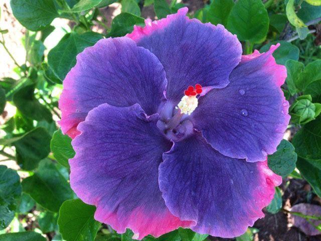 Purple Hibiscus Backyard Snob :  on Pinterest  Hibiscus flowers, Hibiscus plant and Hibiscus garden