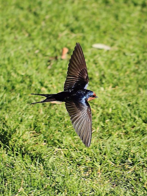Welcome Swallow Yarrawonga foreshore, they are everywhere, particularly at dusk as they prepare to roost for the night in mass groupings.