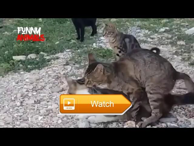 Funny Videos of Cats Funny Cats Compilation Best Funny Cat Videos Ever Funny Vines  Thank You for Watching Click here to Subscribe Links Social FACEBOOK TWITTER funnycatscompilation bestfunnycatvideosever  on Pet Lovers
