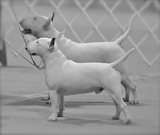 "Fozzie / Bull Terrier ~  Kid / Miniature Bull Terrier  Cambria's Kid ~N~ Play ""KID""  MBTCA National Specialty 2011  Best of Breed"