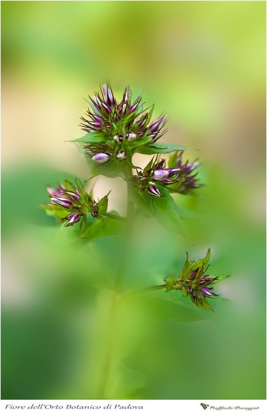 Fiore orto Botanico Padova