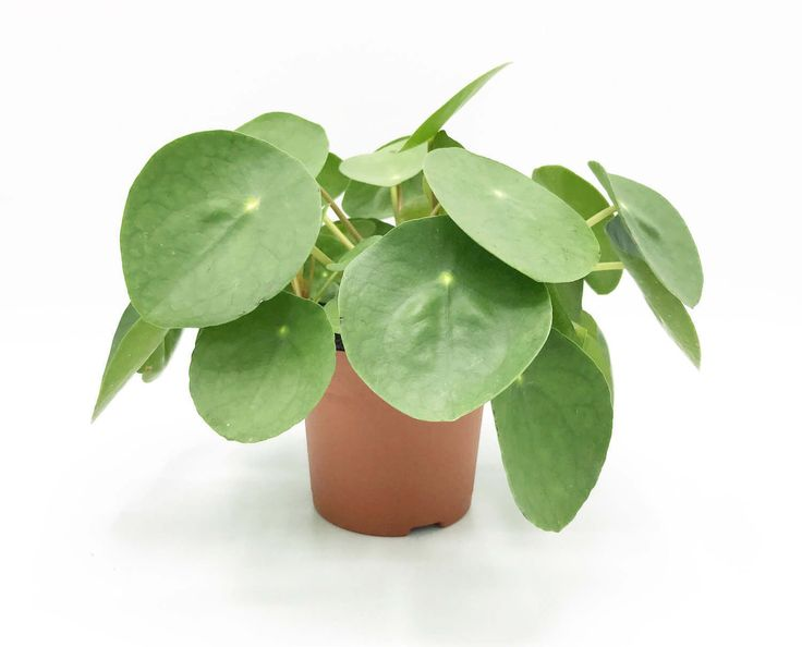 Photo-Friendly Pilea Plants Are Cute and Easy To Care For – Gardening Ideas