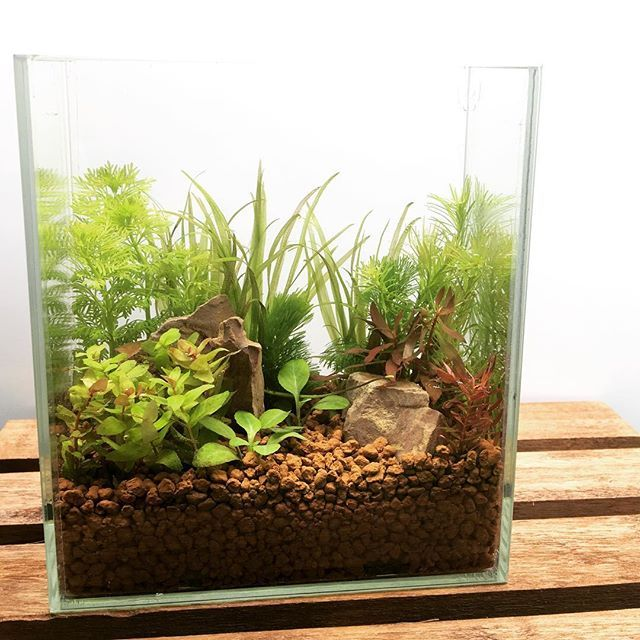 【aquashopwasabi】さんのInstagramをピンしています。 《横幅わずか16㎝の超小型水槽レイアウト🌲🌲 小さい水槽には繊細な葉の品種を選択🌿🌿 #aquadesignamano#aquaticplants#aquashopwasabi#aquarium#natureaquarium#waterplants#plants#熱帯魚#moss#flowerarrangement#水族館#bonsai#インテリア#indoorplants#ada#aquaplants#botanical#aquascape#aquascaping #水草#水草水槽#ネイチャーアクアリウム#ボトルアクアリウム#観葉植物#金魚#アクアリウム#生け花#interior#水槽#フラワーアレンジメント》