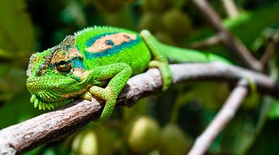 66 Square Feet: Cape Dwarf Chameleons