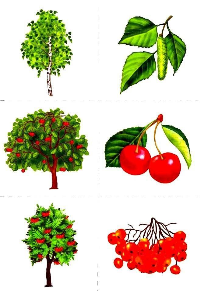 Деревья и кустарники для дошкольников картинки