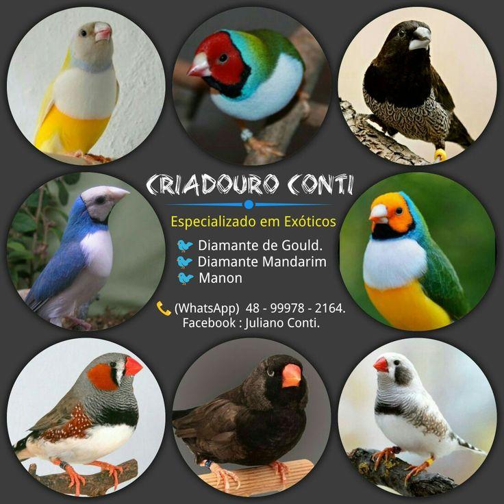 O Criadouro Conti é especializado na criação de Pássaros Exóticos:  * Diamante de Gould * Diamante Mandarim * Manon  * Calopsita e outras aves