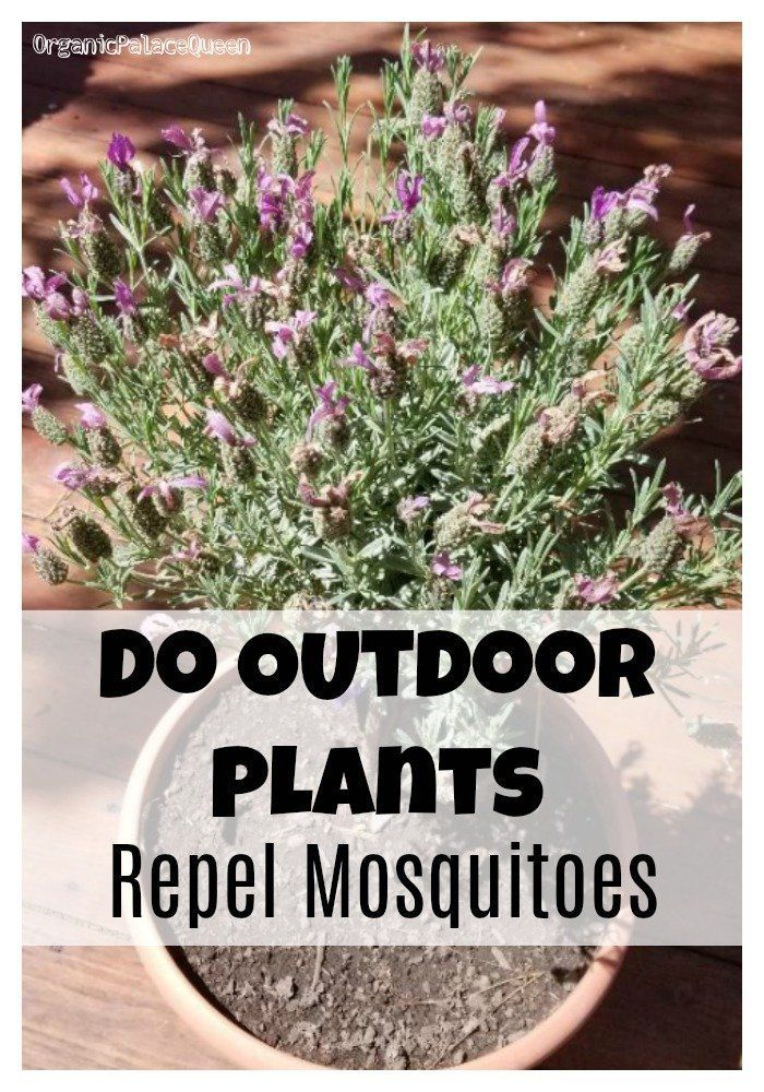 Can Outdoor Plants Repel Mosquitoes Organic Palace Queen