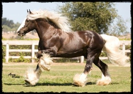 "(equine) Gyspy Cob - ""St. Clarins"" a chocolate silver dapple stallion"