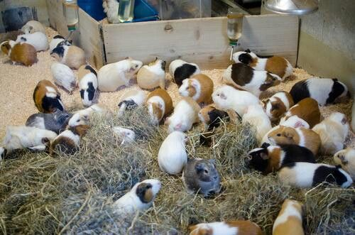 guinea pig speed dating Guinea pig care advice many rescues including ours offer a boar / sow dating service for single guinea pigs speed dating - quick meeting.