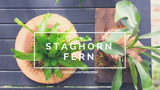 The Staghorn Fern is one of the most unique and beautiful houseplants around. If you want something different and beautiful, this is the plant for you!