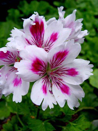 Geranium 'Arnside Fringed Aztec' Pelargonium