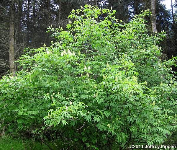 36 best colorado native shrubs images on pinterest shrubs shrub red elderberry sambucus racemosa red elderberry sambucus racemosa var racemosa publicscrutiny Images