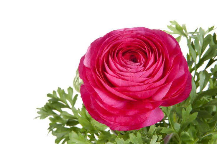 elegant Ranunculus Sprinkles