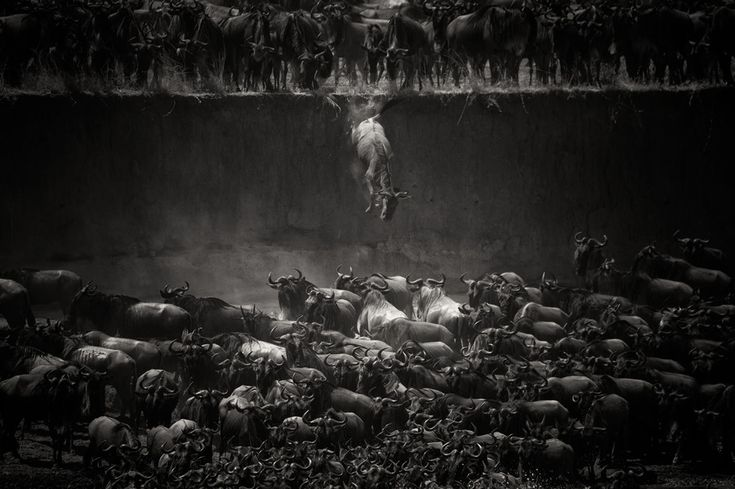 The Most Dramatic Animal #Migrations Captured On #Camera...