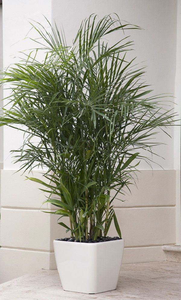17 best ideas about bamboo palm on pinterest humidifier. Black Bedroom Furniture Sets. Home Design Ideas
