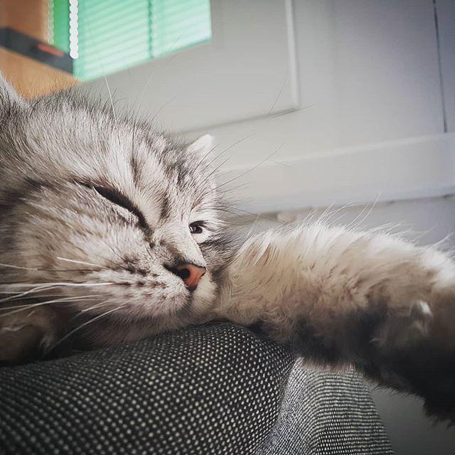 Time To Sleep Siberian Cat Animals Kittens