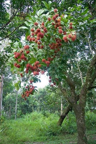 rambutan tree (1) by faisal.abang, via Flickr