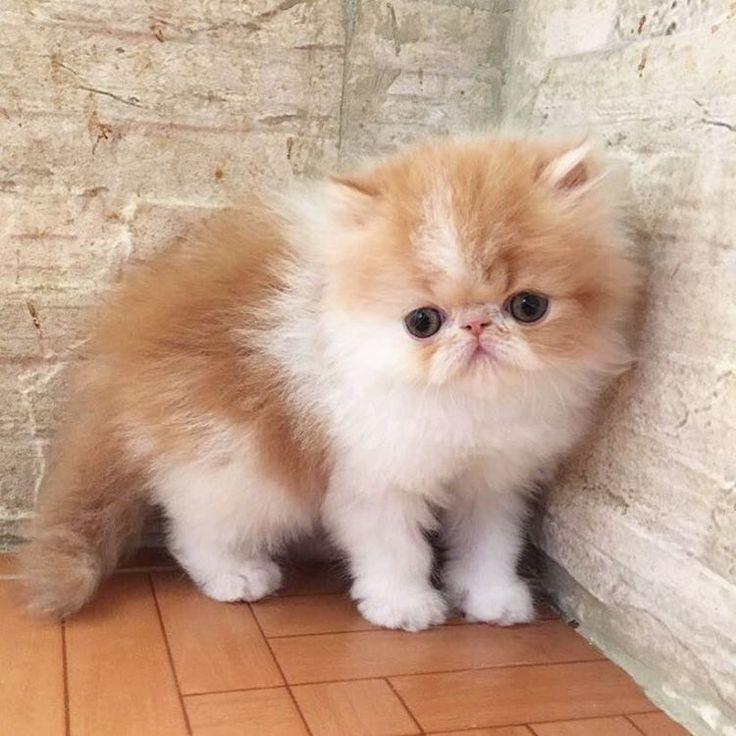 Persian Cat: 25+ Best Persian Cats Trending Ideas On Pinterest