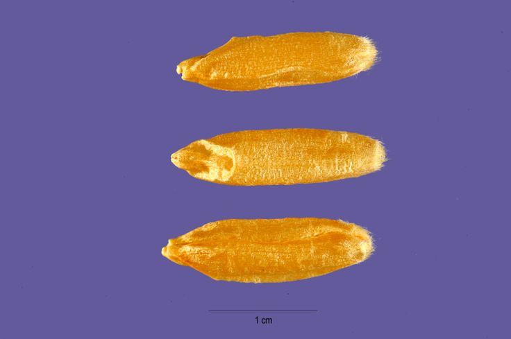 Cicchi di grano Turanicum