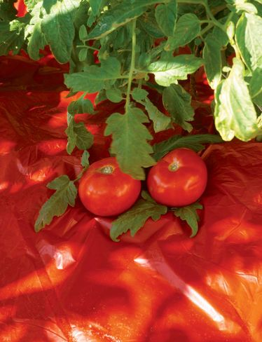 Red Tomato Mulch improves yield and flavor of tomatoes. Warms the soil and conserves moisture.