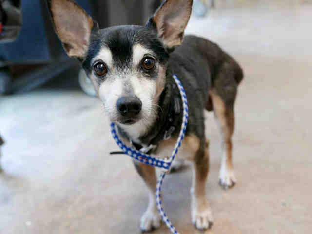 This Dog Id A765349 Senior I Am A Black And White Unaltered Male Who Looks Like A Chihuahua Smooth Coated Kitten Adoption Cat Adoption Animal Shelter