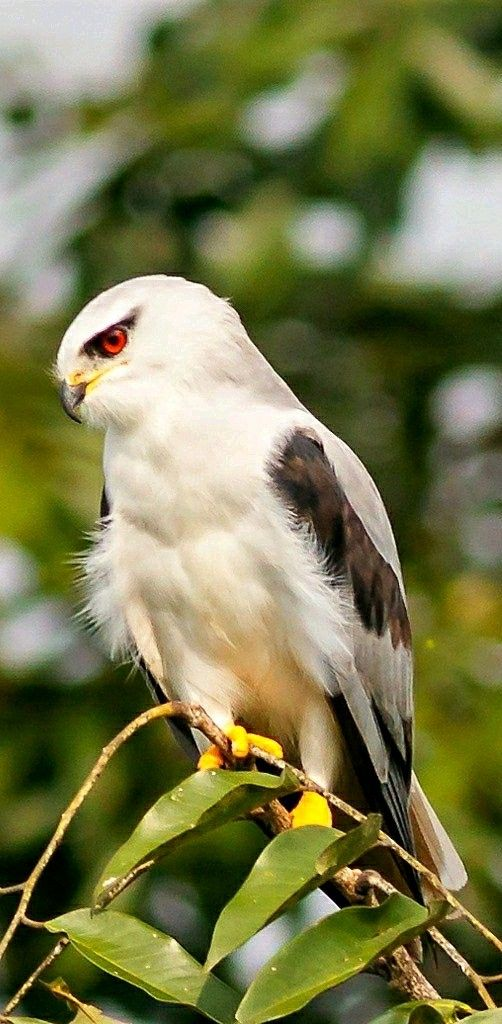Birds of Prey - Black- shouldered Kite hunting in Na Ngua, Thailand. - photographer Mike Rose