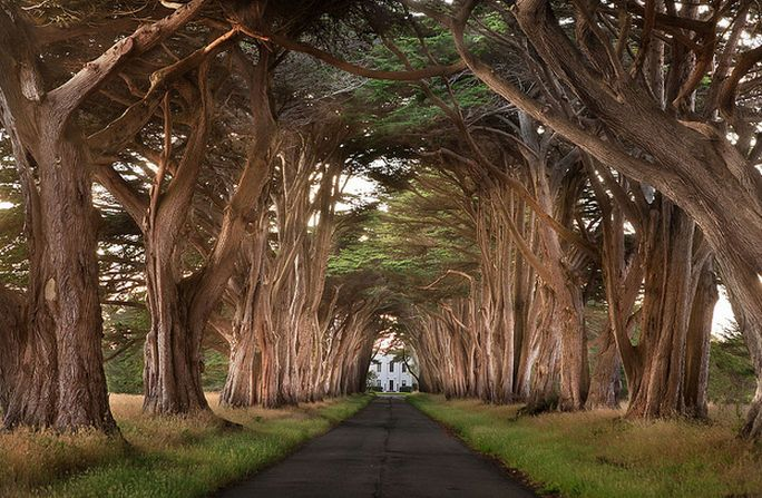 The cypress tree signifies understanding the role of sacrifice. Monterey Cypress Tree Tunnel, California.