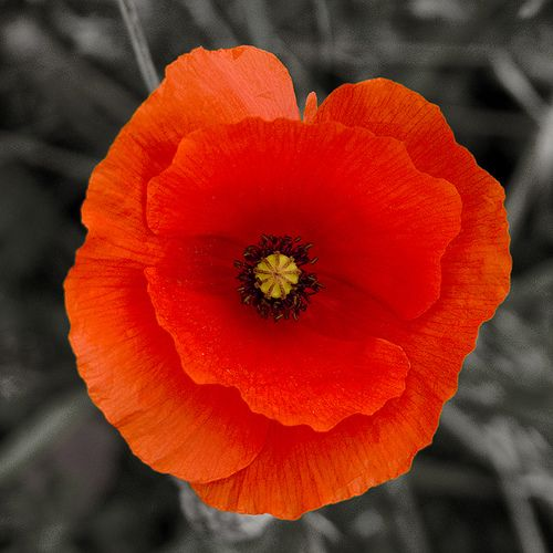 Poppy, by Pete Biggs, via Flickr