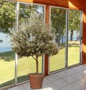 Dwarf Arbequina Olive tree...would love one for our patio...have several small trees around the patio and it makes it seem so much more a part of the garden in general!