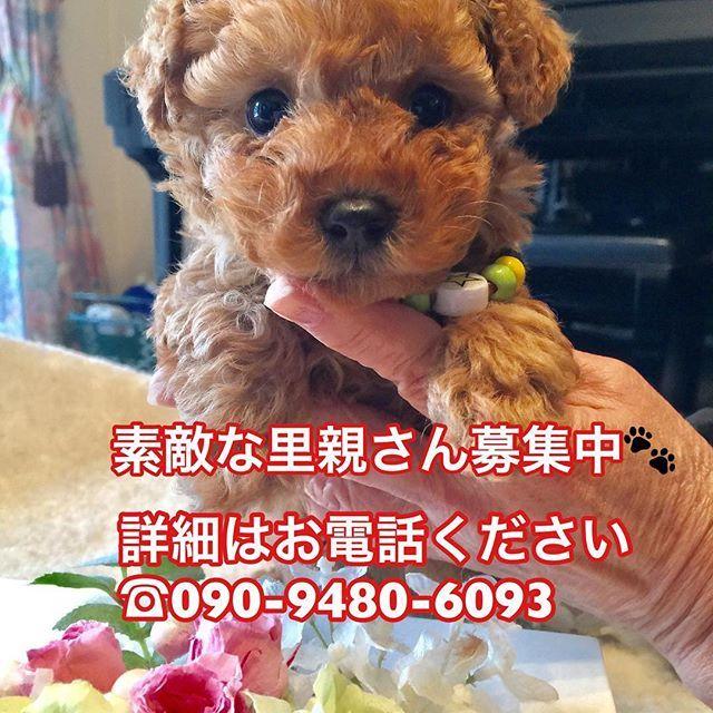 #トイプードル #チワワ #柴犬 #ヨークシャテリア  #里親募集中 #愛犬 #日本  超かわいいトイプードルの赤ちゃん里親募集中☺  トイプードル 生年月日  2016  12/8 毛色  レッド♂  価格詳細はご連絡ください。  TEI090-9480-6093  コウダまで  COREDOG(かわいいペット販売) https://m.facebook.com/CORE-DOG-1497733313808418/  Outdoor workout Core (只今ラバートレーニング) https://www.facebook.com/Core-1706693829550217/  Core Foodへのお問い合わせは下のURLへ https://www.facebook.com/corefood100/