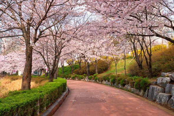 Blooming Sakura Cherry Blossom Alley In Park Pemandangan Taman Kota Latar Belakang