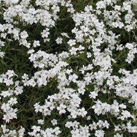 Vijver en Tuincentrum Pelckmans: Cerastium tomentosum.Hoornbloem. Snelgroeiende bodembedekker voor de rotstuin en randbeplanting. Gedijt op arme grond en houdt van zon tot halfschaduw. Bloeit van april tot einde van de zomer. Groenblijvend.