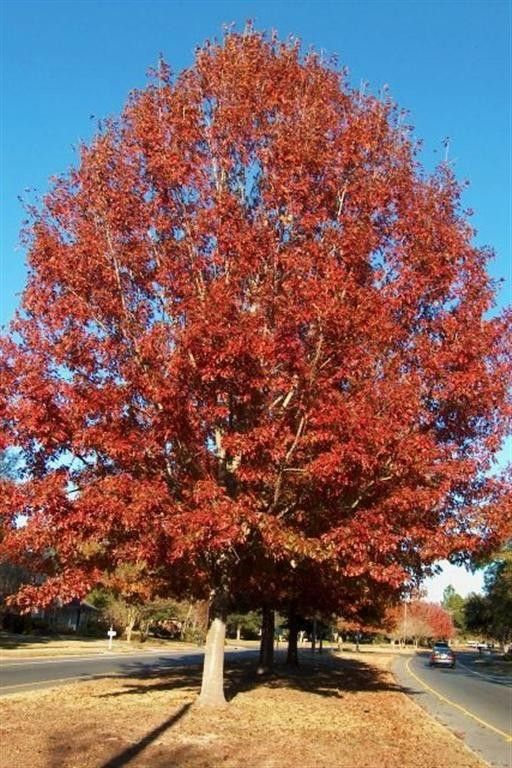 Red Oak is a beautiful and artistic shade tree with a picturesque rounded shape, and a striking Indian red fall color. It is one of the fastest growing and toughest Oak trees available. Red Oak is native to much of the US, and is always an intelligent choice for this reason. Great for attracting wildlife, the Red Oak is guaranteed to turn heads