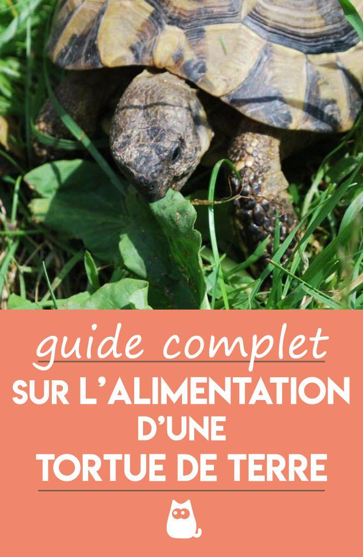 Comment S'occuper D'une Tortue De Terre : comment, s'occuper, d'une, tortue, terre, Mange, Tortue, Terre, Alimentation, Terrestre, Terre,, Tortue,