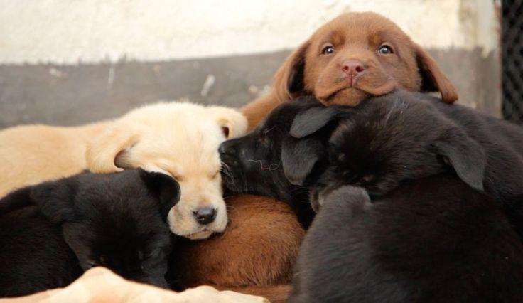 Nabídka štěňat labradorského retrívra | Hana Trnčáková