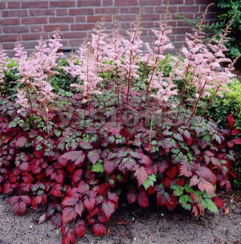 Astilbe 'Color Flash'- south side of house