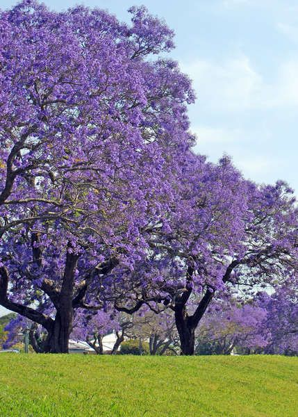 I love Jacaranda Trees! I wish they grew here. Maybe I'll move to Fiji. A garden in Fiji would be fun.