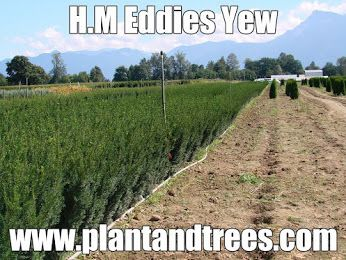 H.M Eddies Yew