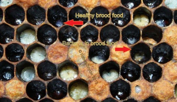 Excellent info about European Foulbrood (EFB) Part 2 - Healthy and EFB contaminated royal jelly.