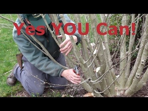 ▶ How to Prune Rose of Sharon (Hibiscus syriacus) - YouTube