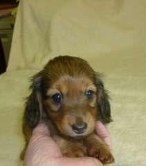 Mini Long Hair Dachshunds Reg'd Breeder puppies for