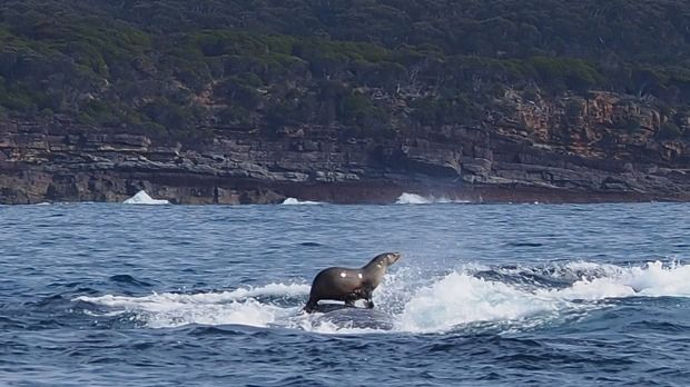 A seal rides on the back of a whale on the NSW south coast: when a pod of whales tucked into a feeding frenzy on the NSW south coast there was plenty on the menu - even enough for a surprise guest.