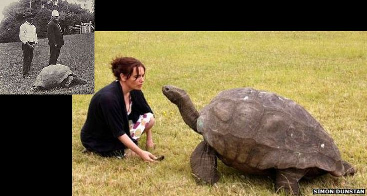 On the left: a tortoise aged 70 in 1902 COOL? On the right: That same tortoise in 2015. - Imgur