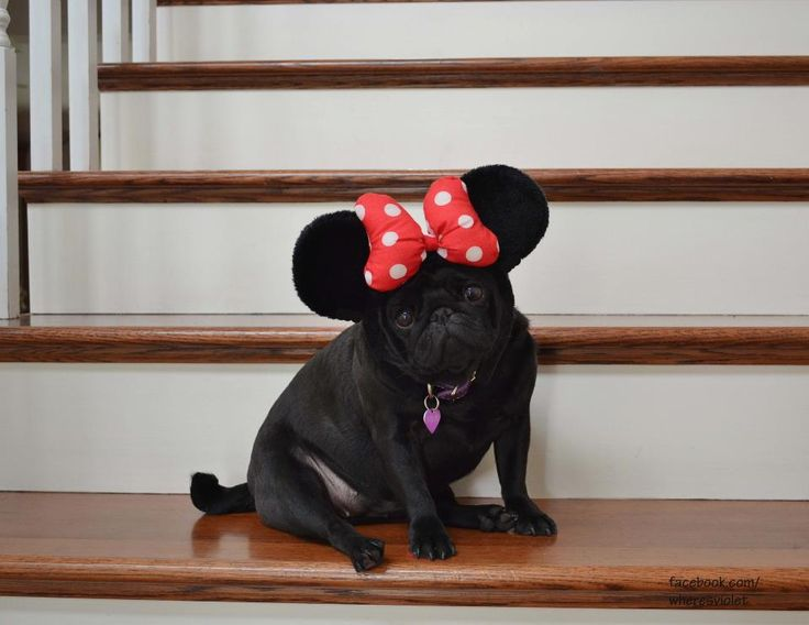 Minnie Mouse Pug... Cutest thing ever and definitely dutch's costume for next Halloween!