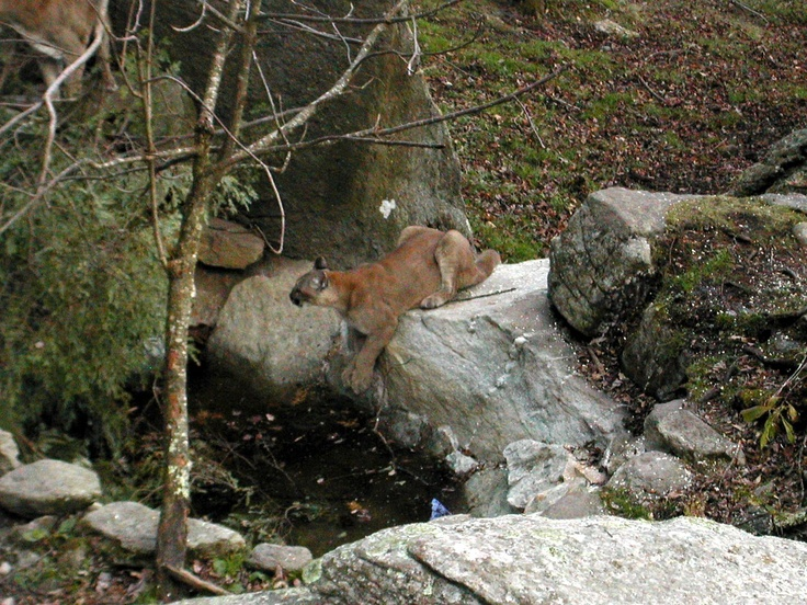 Mountain lion on Grand Father Mountain in  North Carolina http://diamondrn.hubpages.com/hub/The-Beauty-and-Variety-of-the-Blue-Ridge-Mountains-in-North-Carolina