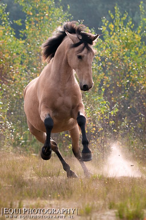 Galloping Buckskin horse.
