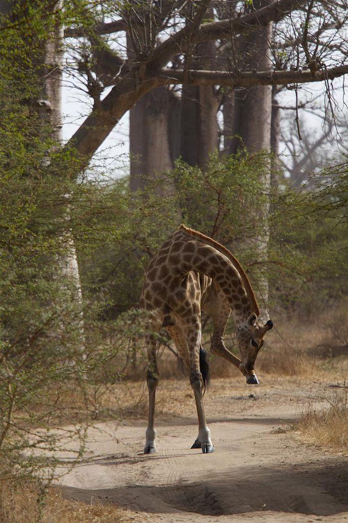 Girafe réticulé, plus souple qu'il n'y parait!