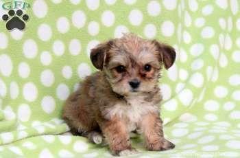 Patty, #Yorkie-Chon puppy