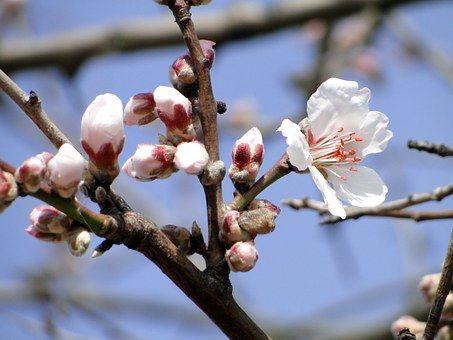 Mandlový Květ, Květiny, Mandloň